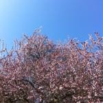 cerisiers en fleur jardin emi